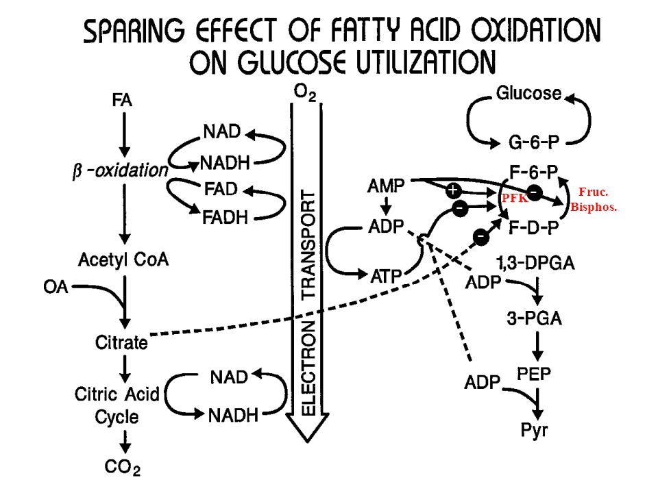 Tissue Utilization of Fatty Acids Fatty acid uptake > plasma free (albumin-bound) fatty acid levels can vary considerably depending on lipolysis rates > uptake: free diffusion across the plasma membrane > rate of uptake is proportional to plasma concentration Fatty acid utilization is governed by demand, ensuring fuel economy > FAD and NAD are necessary for  -oxidation > these factors are limiting in cells > electron transport chain can only generate oxidized cofactors when ADP is present Liver-derived VLDLs > fatty acid in excess of liver energetic needs is converted to triglyceride, packaged into VLDLs and released into circulation > available to tissues via lipoprotein lipase > VLDL during feeding and fasting