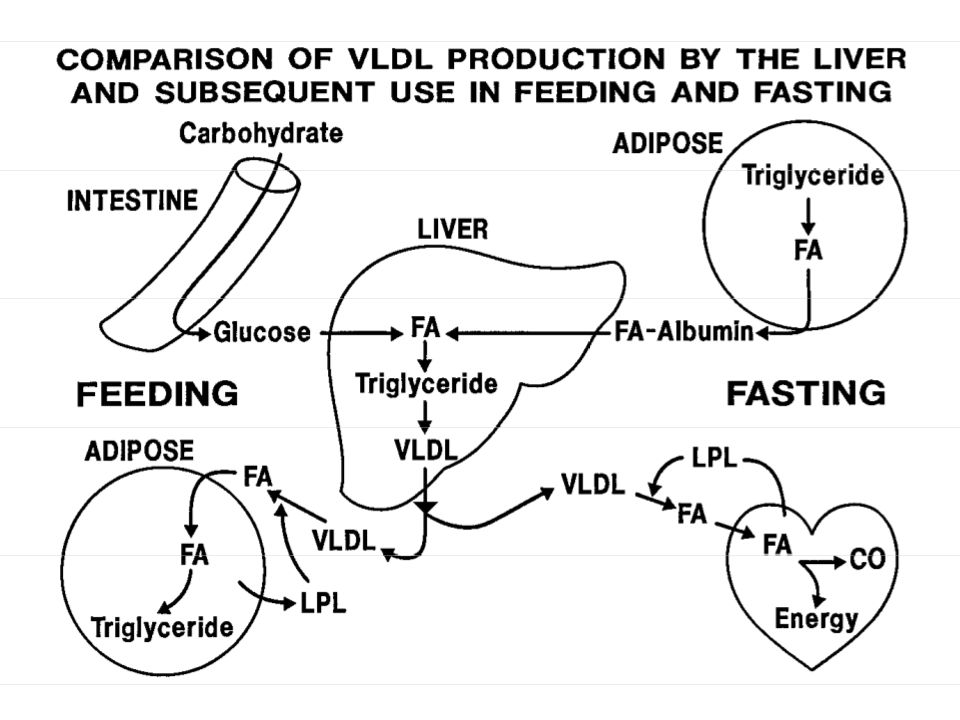 Disposition of Protein Amino Acids Body Protein (400g/day) Dietary Protein (100 g/day) Nonessential AA synthesis (varies) Body Protein (400g/day) Biosynthesis > porphyrins > creatine > neurotransmitters > purines > pyrimidines > other N compounds Energy > glucose/glycogen > ketones, FAs > CO 2 AA Pool (100 g)