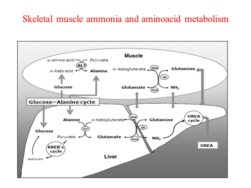 Skeletal muscle ammonia and aminoacid metabolism