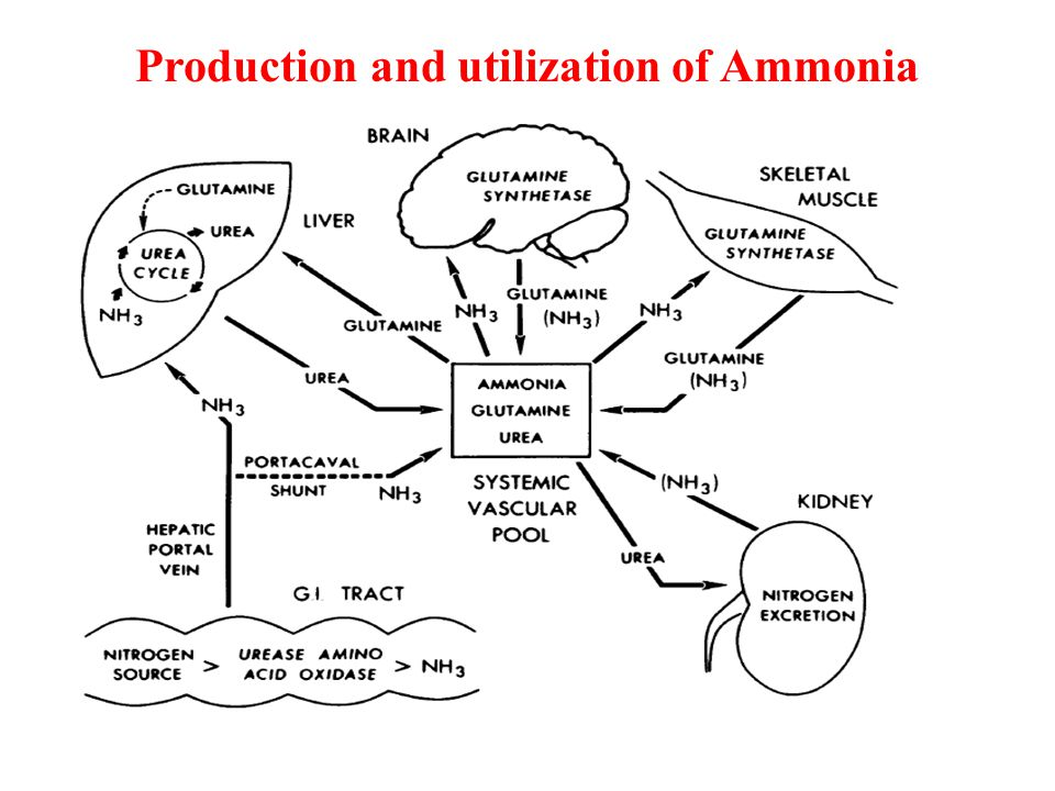 Ammonia metabolism in liver Excessive dietary nitrogen is either excreted or converted to a non-toxic form.