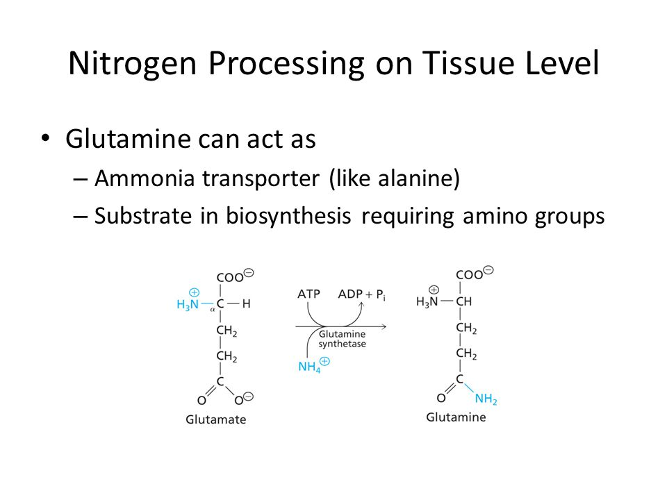 Nitrogen Processing on Tissue Level Glutamine can act as – Ammonia transporter (like alanine) – Substrate in biosynthesis requiring amino groups