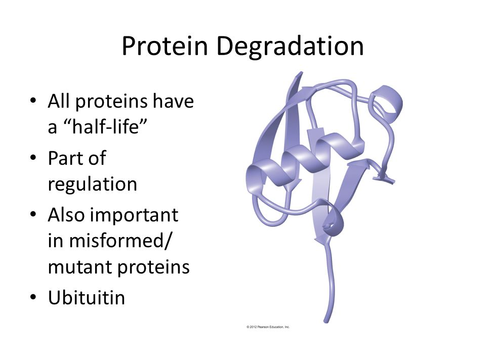Protein Degradation All proteins have a half-life Part of regulation Also important in misformed/ mutant proteins Ubituitin
