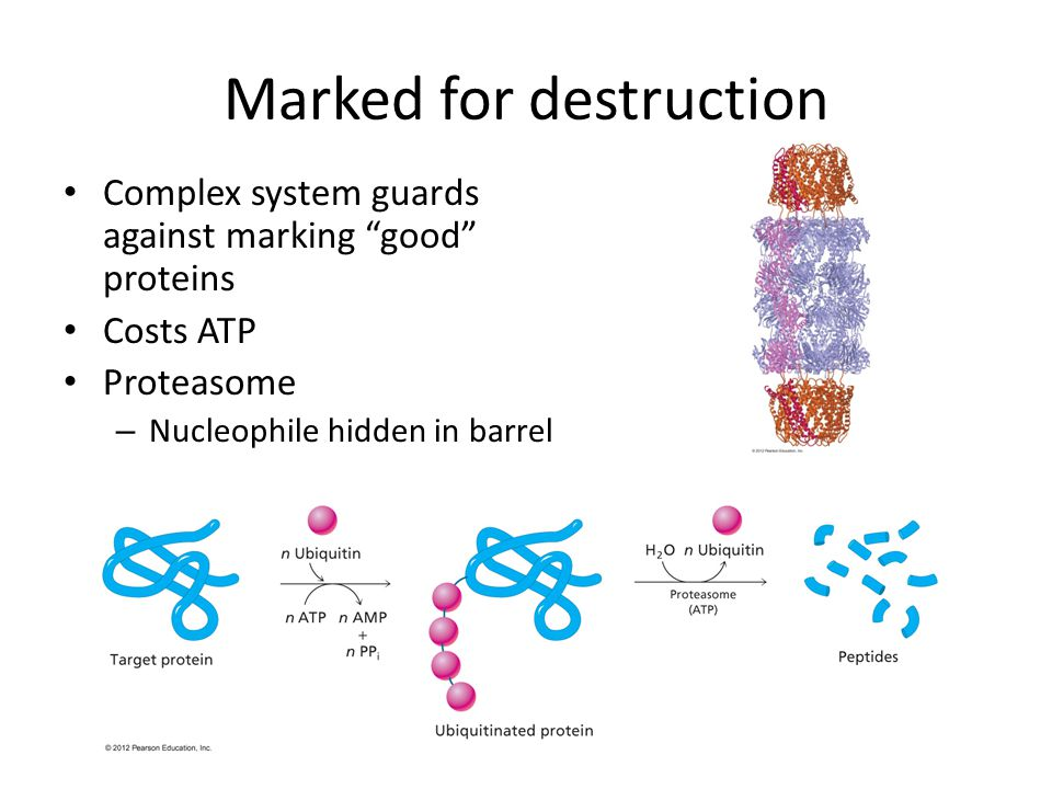 Marked for destruction Complex system guards against marking good proteins Costs ATP Proteasome – Nucleophile hidden in barrel