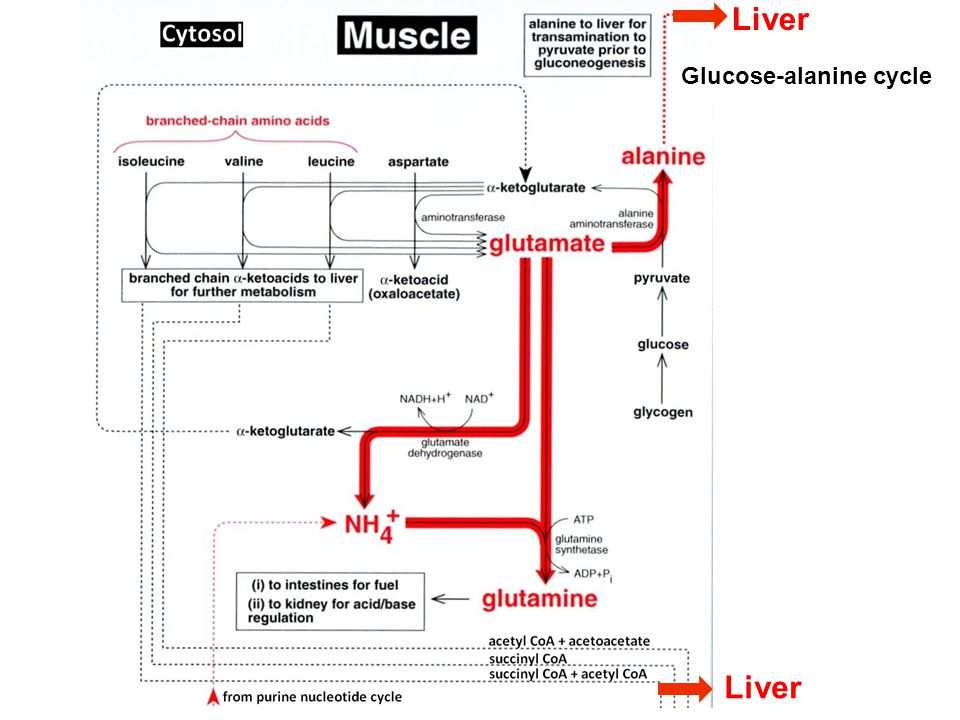 Liver Glucose-alanine cycle Liver