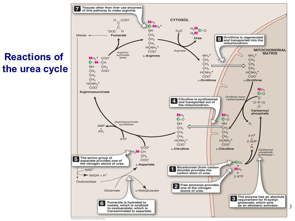 3 Reactions of the urea cycle