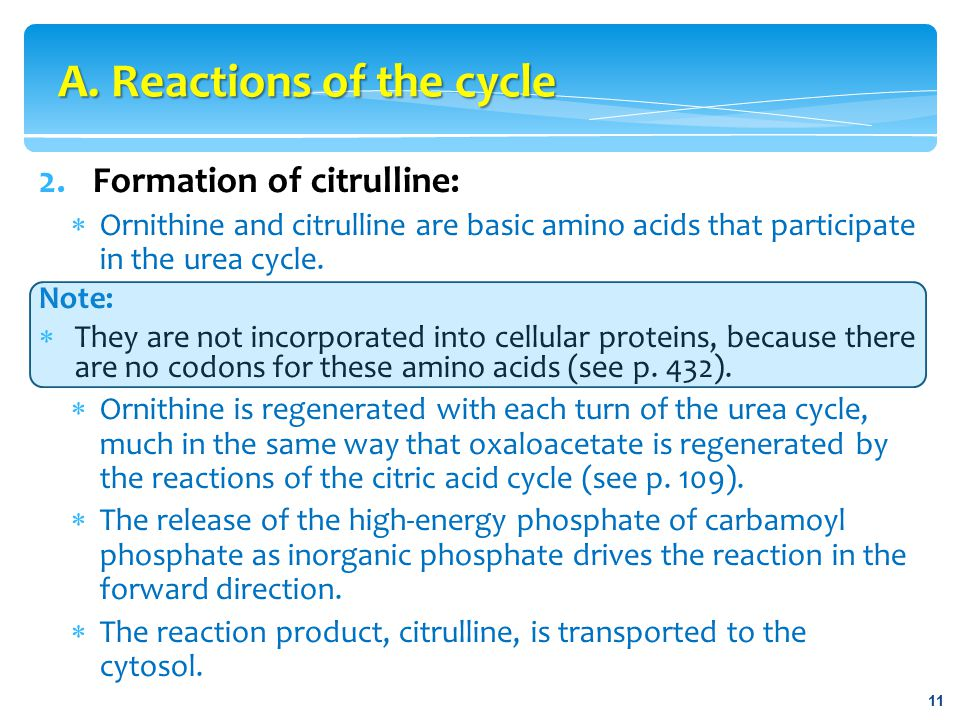 2.Formation of citrulline:  Ornithine and citrulline are basic amino acids that participate in the urea cycle. Note:  They are not incorporated into
