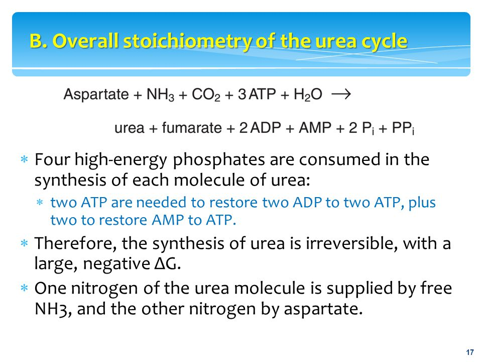 B. Overall stoichiometry of the urea cycle 17  Four high-energy phosphates are consumed in the synthesis of each molecule of urea:  two ATP are need