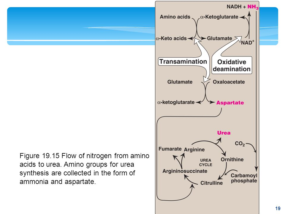 Figure 19.15 Flow of nitrogen from amino acids to urea. Amino groups for urea synthesis are collected in the form of ammonia and aspartate. 19