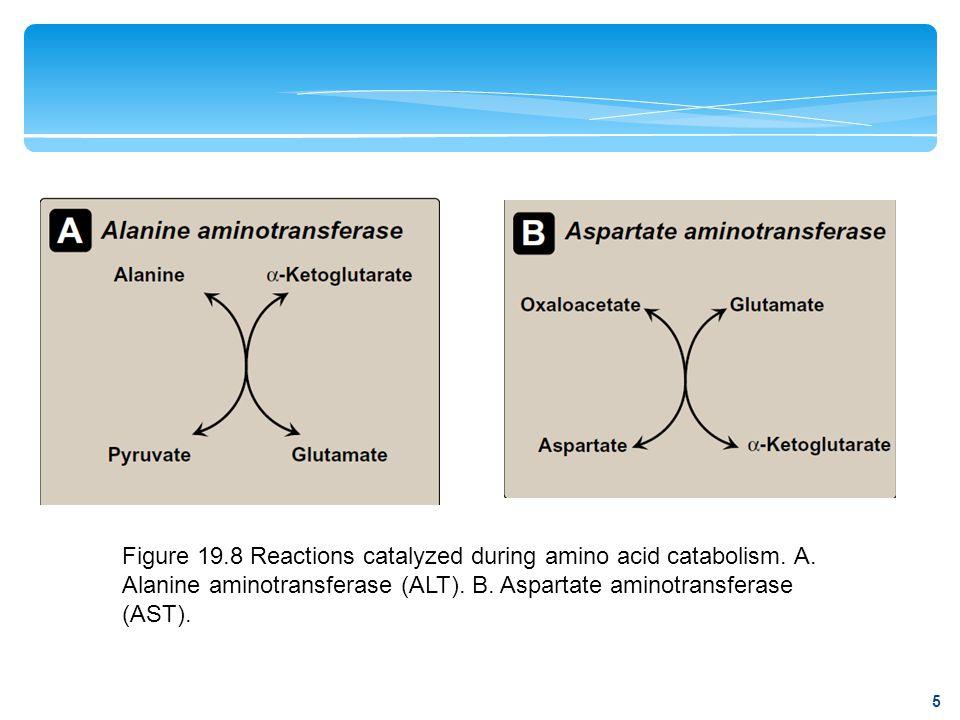 Figure 19.8 Reactions catalyzed during amino acid catabolism. A. Alanine aminotransferase (ALT). B. Aspartate aminotransferase (AST). 5