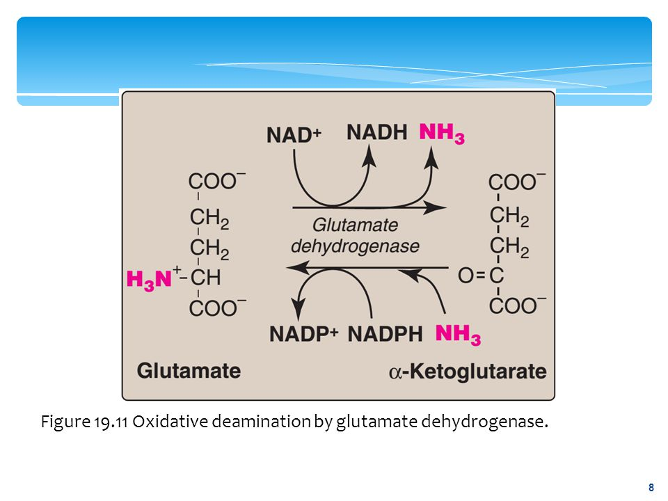Figure 19.15 Flow of nitrogen from amino acids to urea.