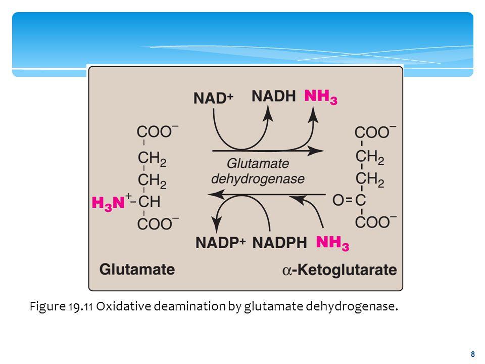 Figure 19.11 Oxidative deamination by glutamate dehydrogenase. 8