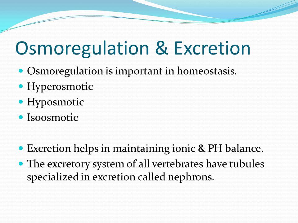 Osmoregulation & Excretion Osmoregulation is important in homeostasis.