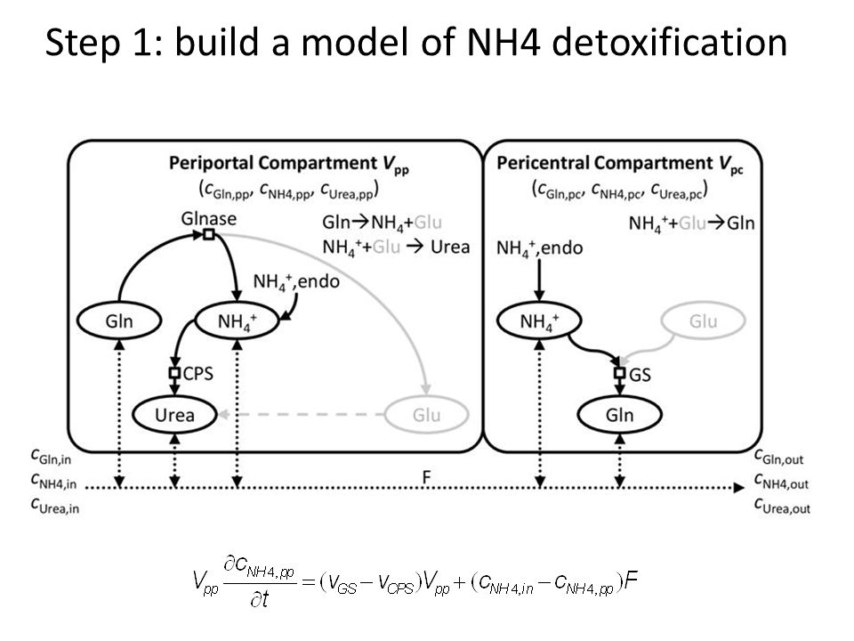 Step 1: build a model of NH4 detoxification