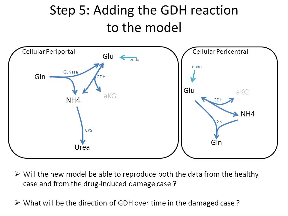 Step 5: Adding the GDH reaction to the model Glu aKG Urea Gln NH4 GLNase GDH CPS Cellular PeriportalCellular Pericentral Glu aKG Gln NH4 GDH GS endo  Will the new model be able to reproduce both the data from the healthy case and from the drug-induced damage case .