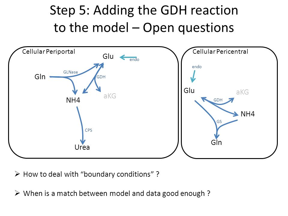 Step 5: Adding the GDH reaction to the model – Open questions Glu aKG Urea Gln NH4 GLNase GDH CPS Cellular PeriportalCellular Pericentral Glu aKG Gln NH4 GDH GS endo  How to deal with boundary conditions .