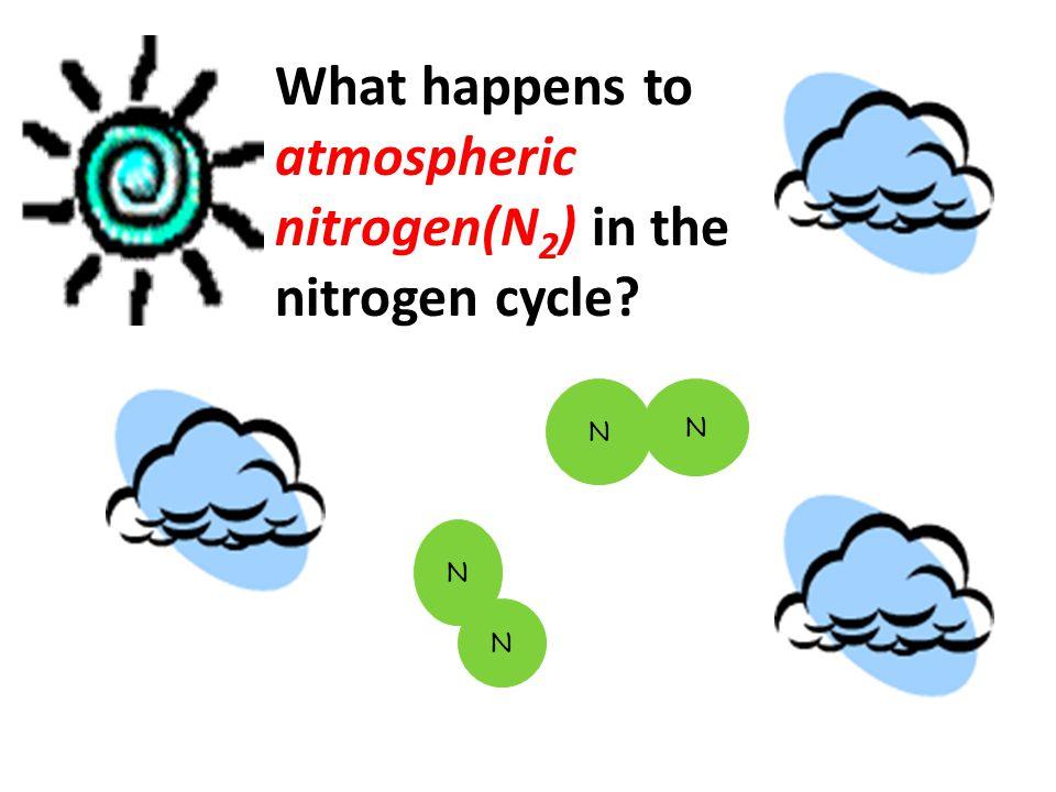 What happens to atmospheric nitrogen(N 2 ) in the nitrogen cycle? N N N N