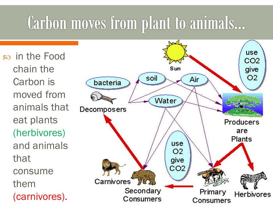  in the Food chain the Carbon is moved from animals that eat plants (herbivores) and animals that consume them (carnivores).