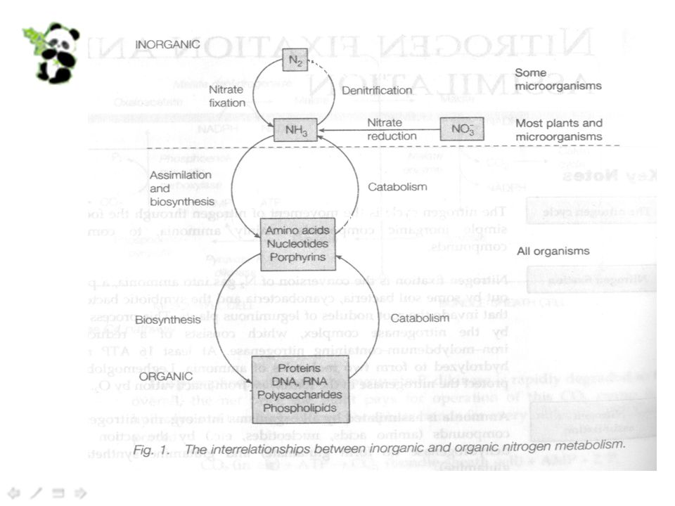 Hyperammonemia A block in any of the urea cycle enzymes leads to an increase in the amount of ammonia in the blood, so-called hyperammonemia