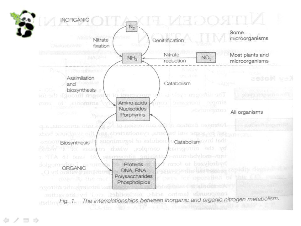 脱氨作用 分解代谢