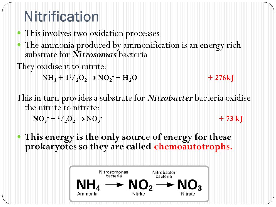 Nitrification This involves two oxidation processes The ammonia produced by ammonification is an energy rich substrate for Nitrosomas bacteria They oxidise it to nitrite: NH 3 + 1 1 / 2 O 2  NO 2 - + H 2 O + 276kJ This in turn provides a substrate for Nitrobacter bacteria oxidise the nitrite to nitrate: NO 3 - + 1 / 2 O 2  NO 3 - + 73 kJ This energy is the only source of energy for these prokaryotes so they are called chemoautotrophs.