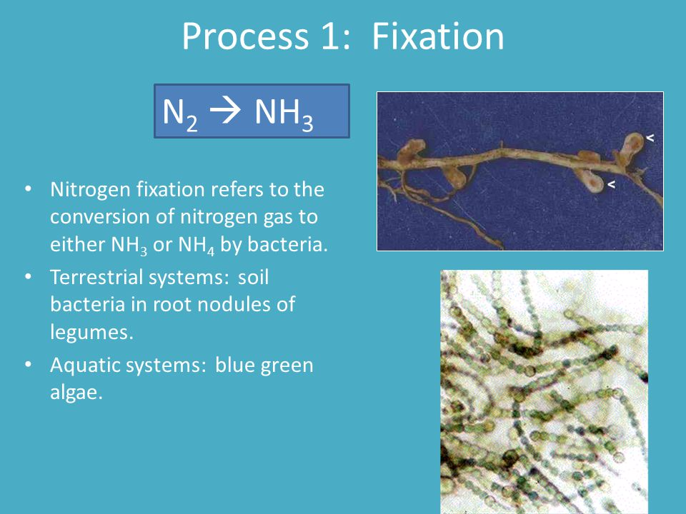 Process 1: Fixation Nitrogen fixation refers to the conversion of nitrogen gas to either NH 3 or NH 4 by bacteria. Terrestrial systems: soil bacteria