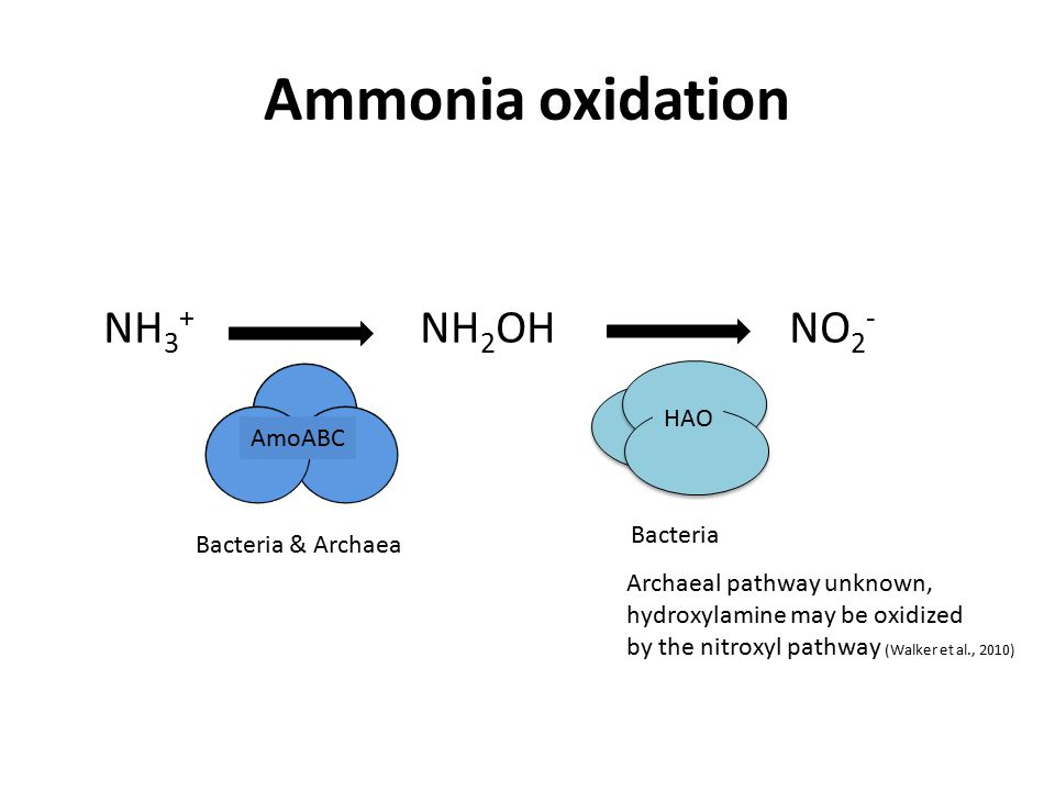 Ammonia oxidation NH 3 + NH 2 OH NO 2 - AmoABC HAO Bacteria & Archaea Bacteria Archaeal pathway unknown, hydroxylamine may be oxidized by the nitroxyl pathway (Walker et al., 2010)