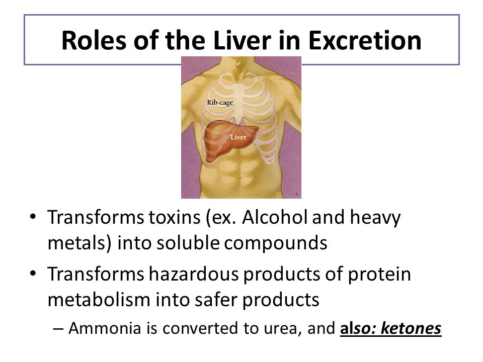 Roles of the Liver in Excretion Transforms toxins (ex. Alcohol and heavy metals) into soluble compounds Transforms hazardous products of protein metab