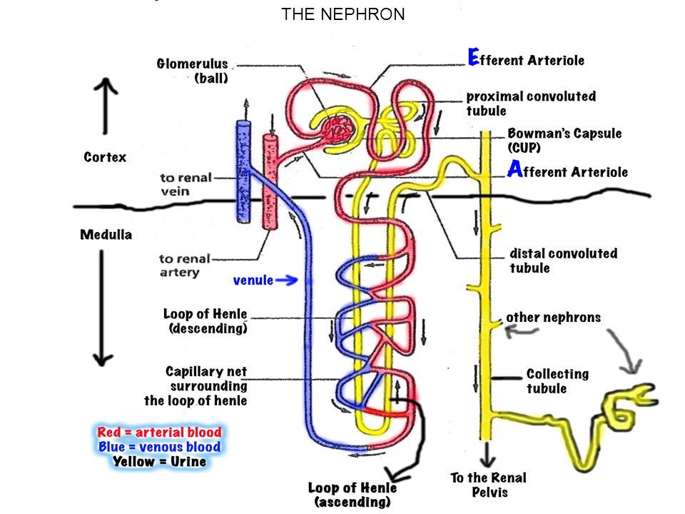 THE NEPHRON