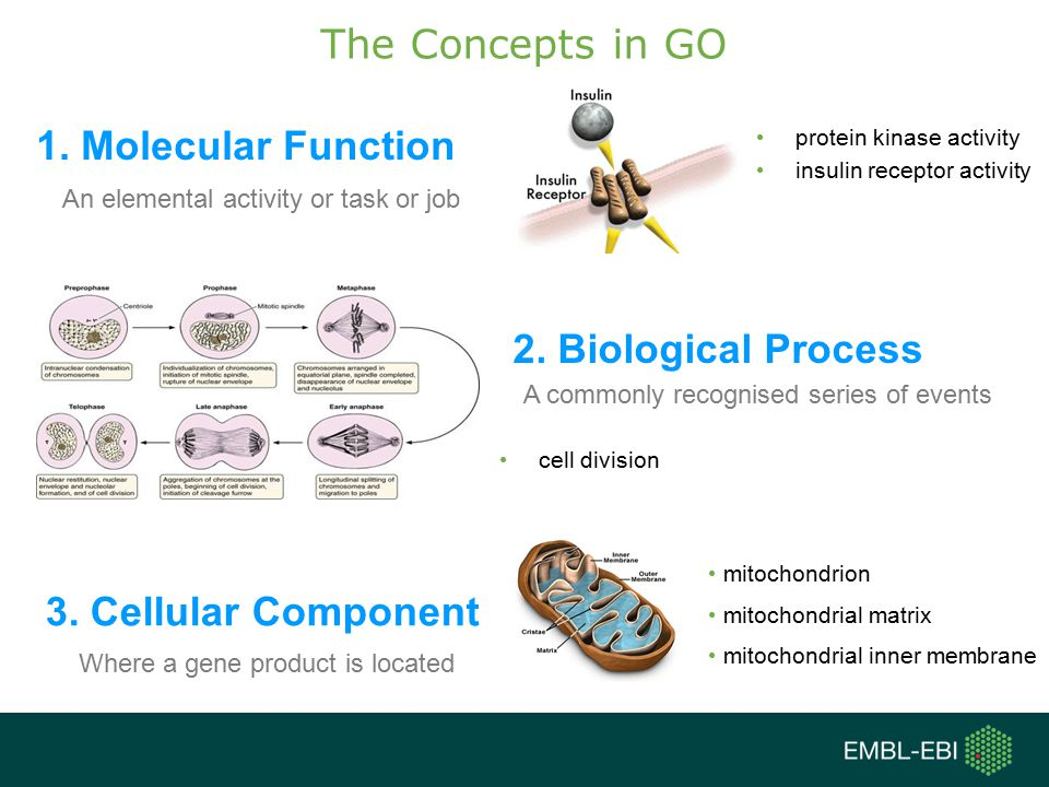 The Concepts in GO 1.Molecular Function 2. Biological Process 3.
