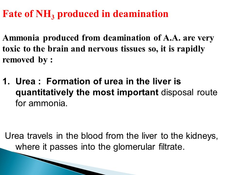 Fate of NH 3 produced in deamination Ammonia produced from deamination of A.A. are very toxic to the brain and nervous tissues so, it is rapidly remov