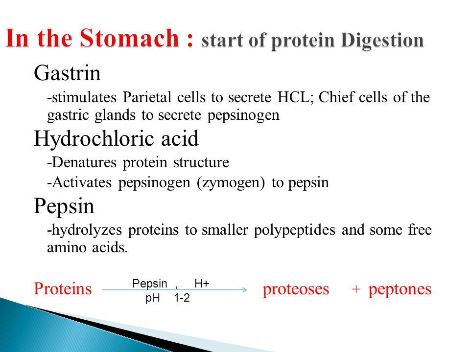 Gastrin -stimulates Parietal cells to secrete HCL; Chief cells of the gastric glands to secrete pepsinogen Hydrochloric acid -Denatures protein struct