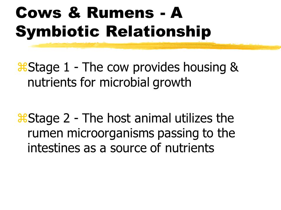 Cows & Rumens - A Symbiotic Relationship zStage 1 - The cow provides housing & nutrients for microbial growth zStage 2 - The host animal utilizes the rumen microorganisms passing to the intestines as a source of nutrients