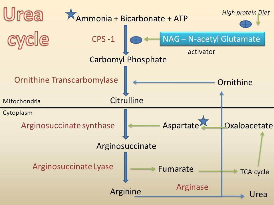 Ammonia + Bicarbonate + ATP Carbomyl Phosphate Citrulline Arginosuccinate Arginine CPS -1 Ornithine Transcarbomylase Arginosuccinate synthase Arginosuccinate Lyase Arginase Ornithine Aspartate NAG – N-acetyl Glutamate High protein Diet Cytoplasm Mitochondria Fumarate Urea activator TCA cycle Oxaloacetate
