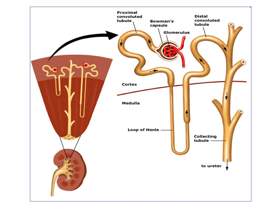 Urine Formation FiltrationReabsorption Secretion 180 L / day Glomerular Filtration Rate (GFR) = 125 ml/min = 180 L / day 1.5 L / day Urine Formation Rate = 1 ml/min = 1.5 L / day