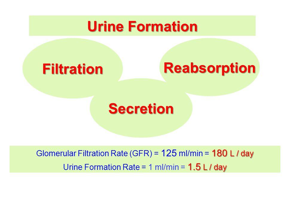 Urine Formation FiltrationReabsorption Secretion 180 L / day Glomerular Filtration Rate (GFR) = 125 ml/min = 180 L / day 1.5 L / day Urine Formation R