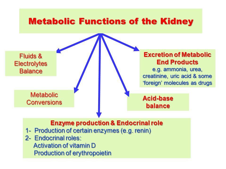 Acid-basebalance Enzyme production & Endocrinal role 1- Production of certain enzymes(e.g. renin) 1- Production of certain enzymes (e.g. renin) 2- End