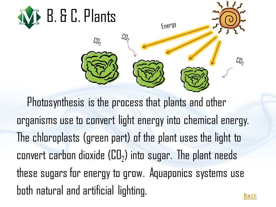 B. & C. Plants Photosynthesis is the process that plants and other organisms use to convert light energy into chemical energy. The chloroplasts (green