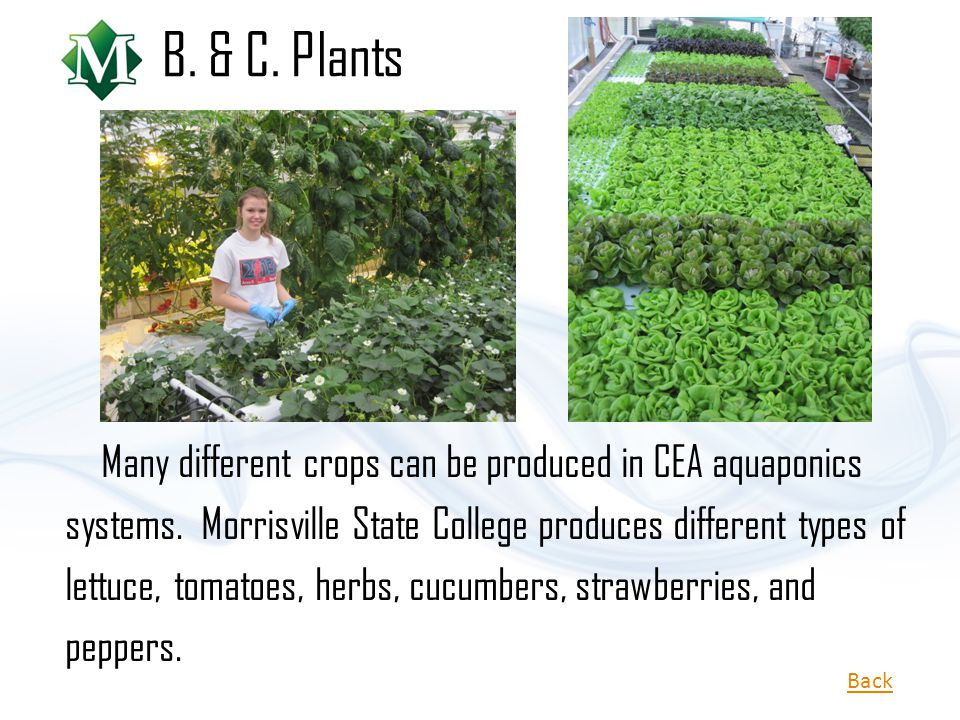 Many different crops can be produced in CEA aquaponics systems. Morrisville State College produces different types of lettuce, tomatoes, herbs, cucumb