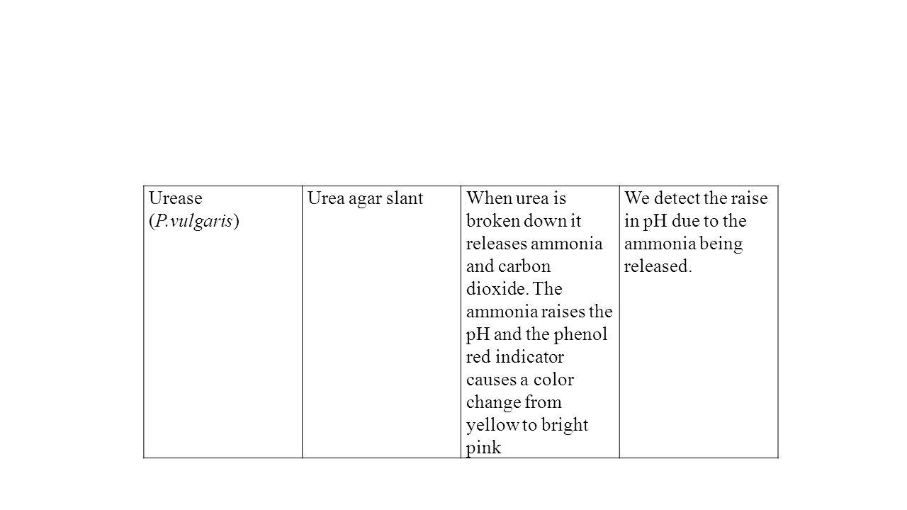 Urease (P.vulgaris) Urea agar slantWhen urea is broken down it releases ammonia and carbon dioxide. The ammonia raises the pH and the phenol red indic