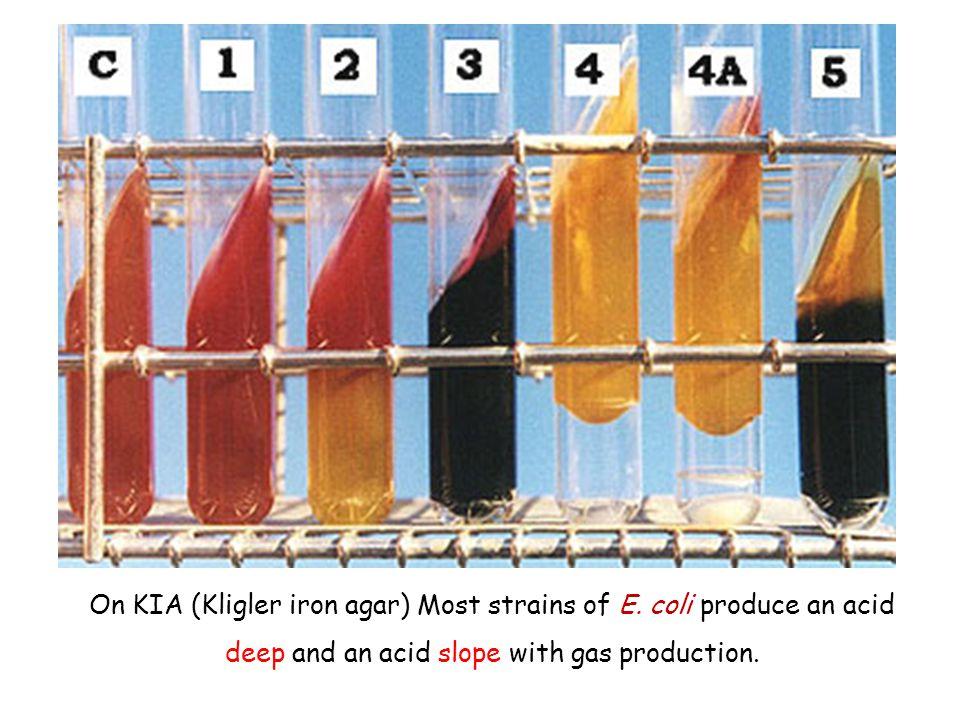 On KIA (Kligler iron agar) Most strains of E. coli produce an acid deep and an acid slope with gas production.