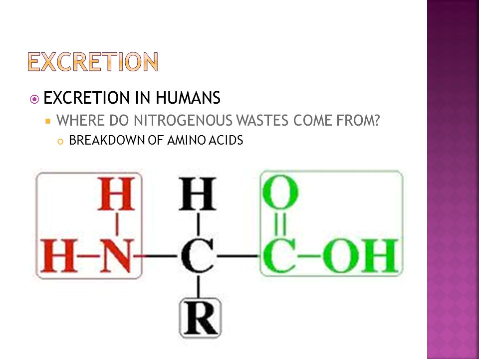  EXCRETION IN HUMANS  WHERE DO NITROGENOUS WASTES COME FROM.
