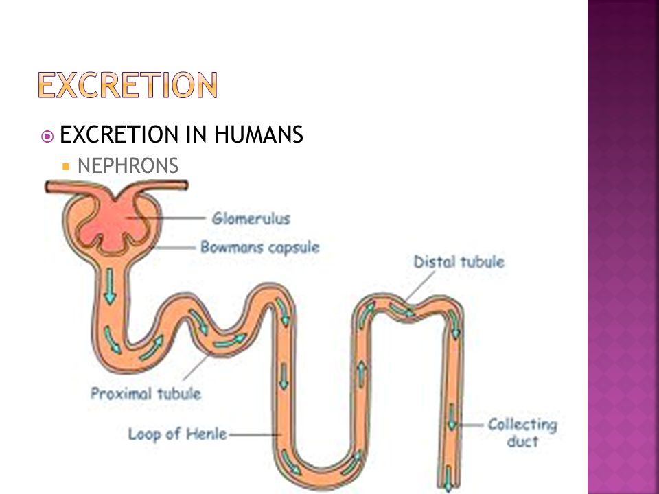  EXCRETION IN HUMANS  **HOW DO THE KIDNEYS WORK? THEY CONTAIN MANY, MANY N E P H R O N S