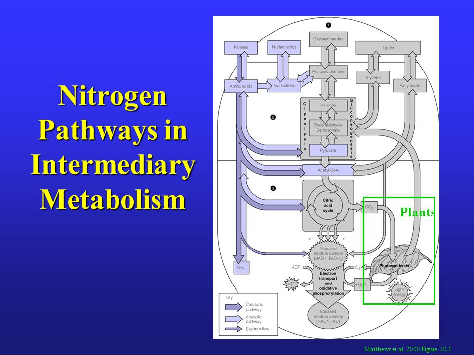 Nitrogen-acquiring reactions in Urea Synthesis Lehninger 2004 Figure 18.11