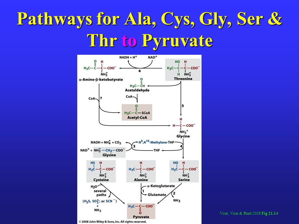 Pathways for Ala, Cys, Gly, Ser & Thr to Pyruvate Voet, Voet & Pratt 2008 Fig 21.14