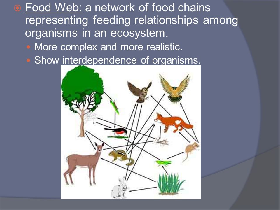  Food Web: a network of food chains representing feeding relationships among organisms in an ecosystem. More complex and more realistic. Show interde