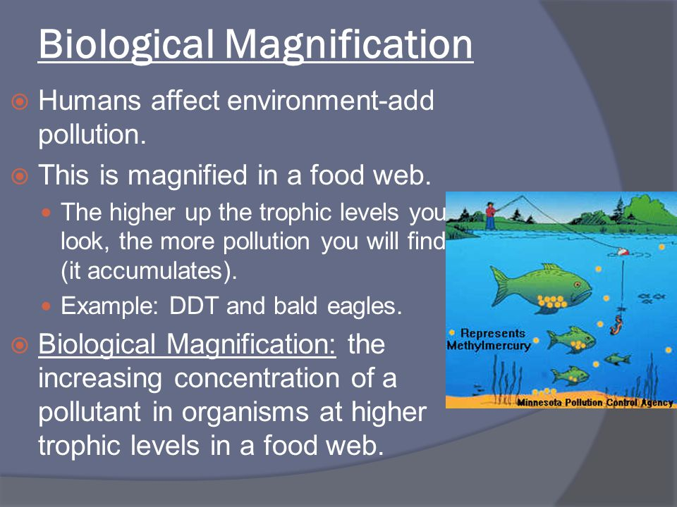 Biological Magnification  Humans affect environment-add pollution.  This is magnified in a food web. The higher up the trophic levels you look, the