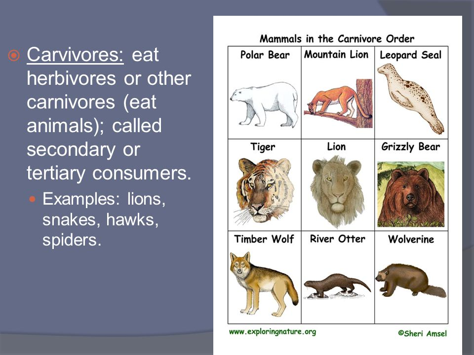  Carvivores: eat herbivores or other carnivores (eat animals); called secondary or tertiary consumers. Examples: lions, snakes, hawks, spiders.