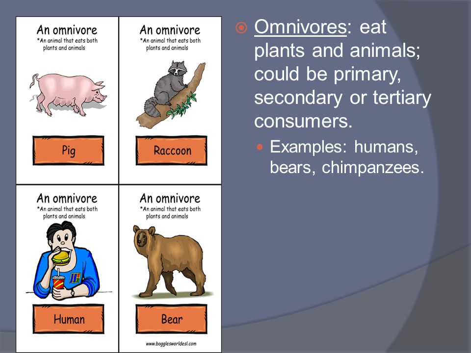  Omnivores: eat plants and animals; could be primary, secondary or tertiary consumers. Examples: humans, bears, chimpanzees.