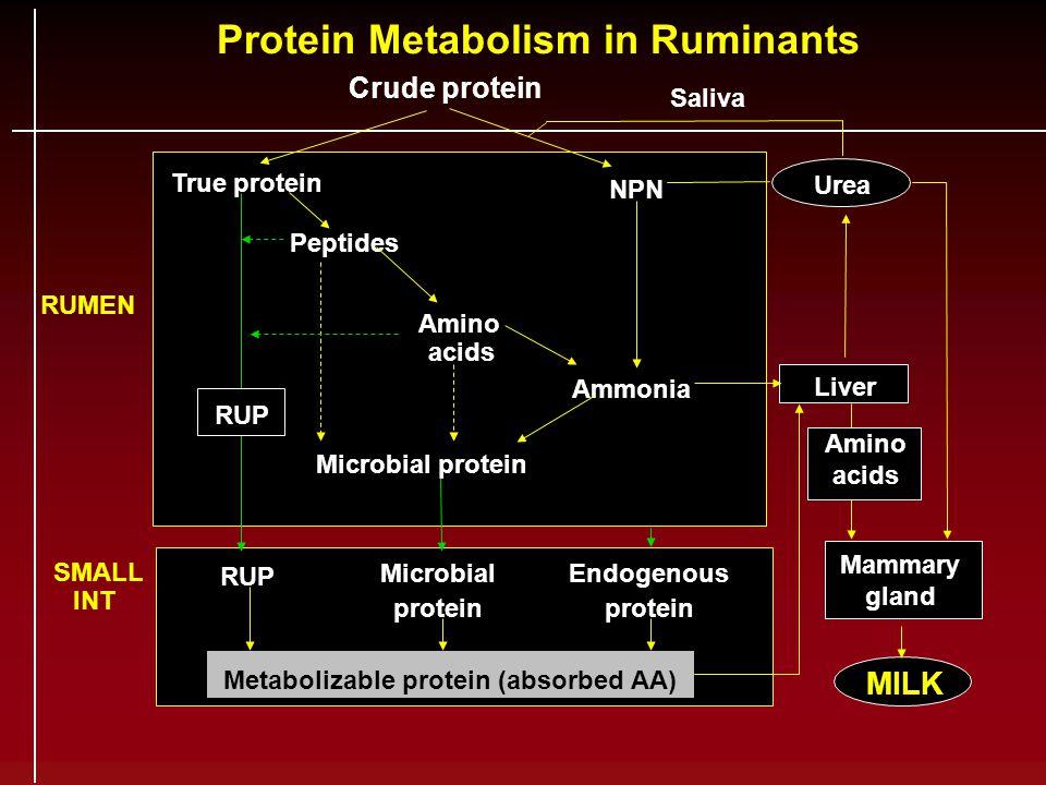 Protein Metabolism in Ruminants Crude protein Saliva True protein Peptides Amino acids Ammonia NPN Microbial protein Urea Liver Microbial protein RUME