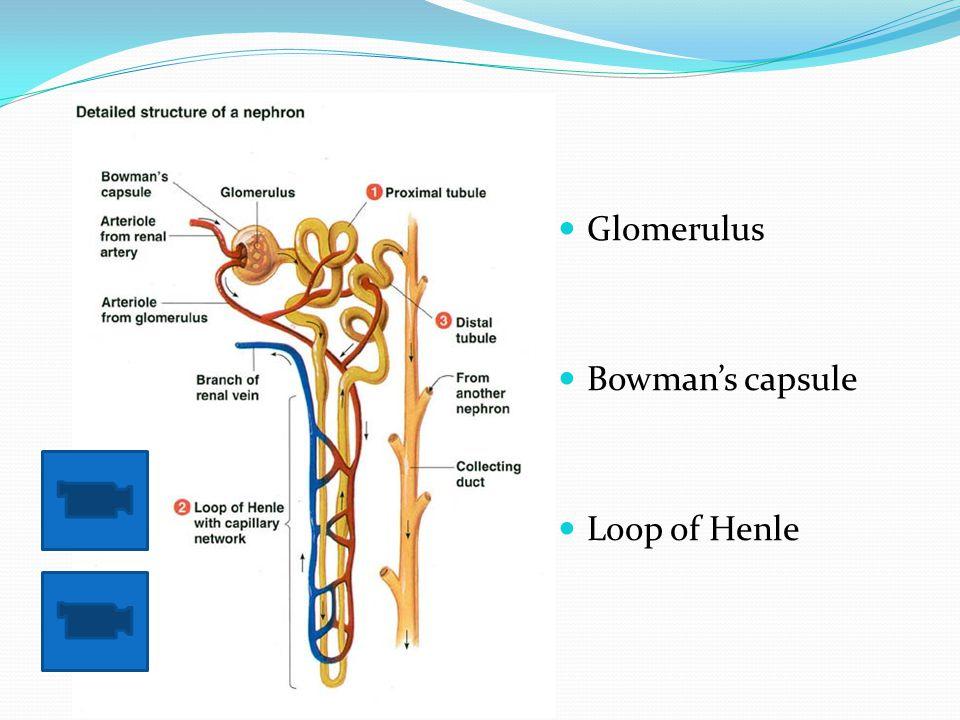 Glomerulus Bowman's capsule Loop of Henle
